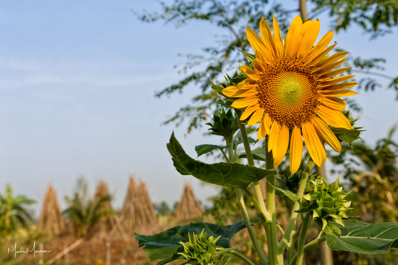 The sunflower garden in front of the farmhouse. This is what you see when you wake up and venture outside